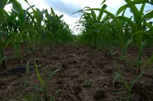 Detail of maize field terrain. The soil was relatively dry and even clods were relatively small.