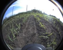 Camera view at rows of maize at ČZU Suchdol