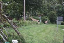 deer in the garden